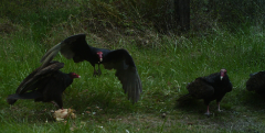 Buzzards taken with trail cam in Veneta