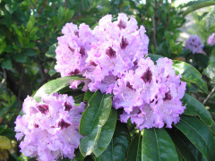 Purple Rhodys