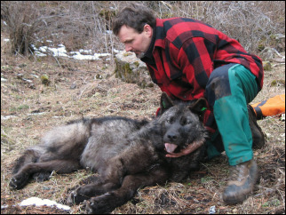 Biologists put tracking collars on Oregon wolf pack