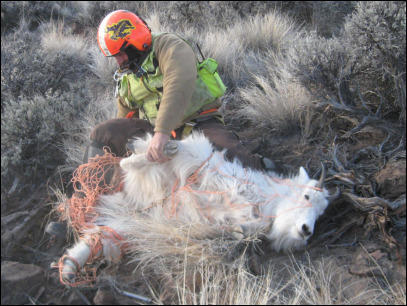 Wandering mountain goats get Oregon's attention