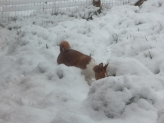 African Basenji enjoys the white stuff!
