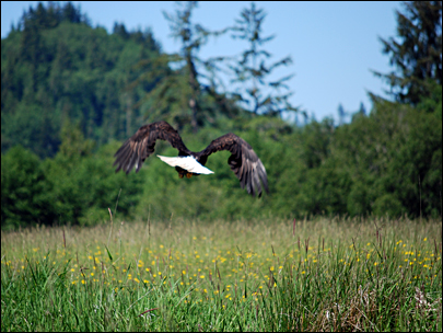 Shot-gunned bald eagle flies again.