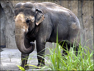 Tusko the elephant will soon be tuskless