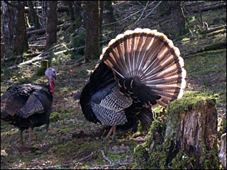 Howdy, pilgrim: Corvallis gunning for wild turkeys