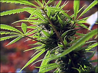 Spike in medical marijuana gardens worries Clackamas County
