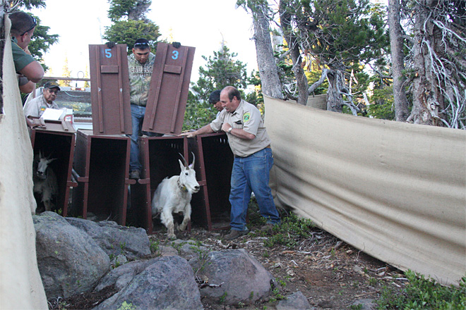 Mountain goats released on Mount Jefferson