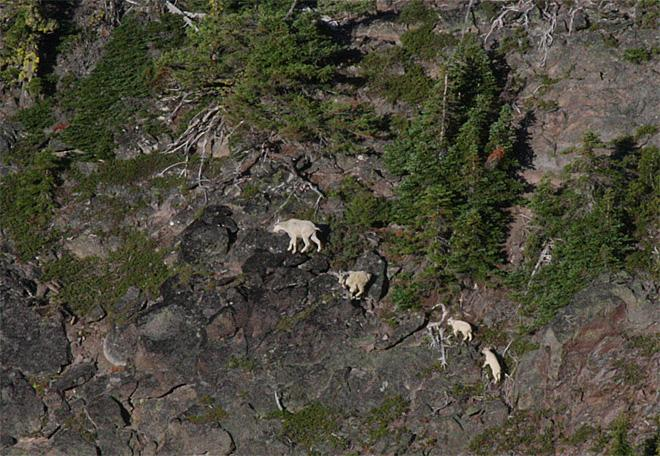 Goats released on Mount Jefferson