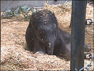 Oregon's new baby elephant draws a crowd