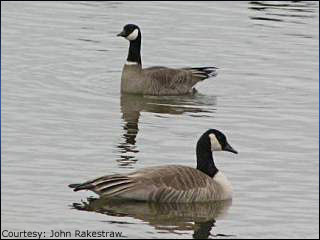 Willamette Valley's wintering waterfowl