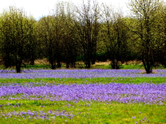 Purple Field of Wild Camas