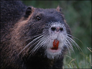 When nutria attack! Keep dogs safe