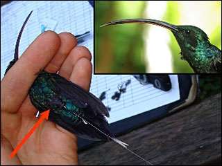 OSU tracks hummingbirds to research 'pollination crisis'