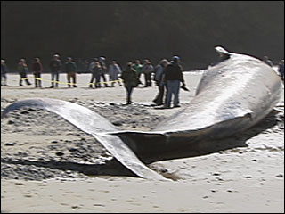 Beached whale&#39;s tale captivates Oregon Coast