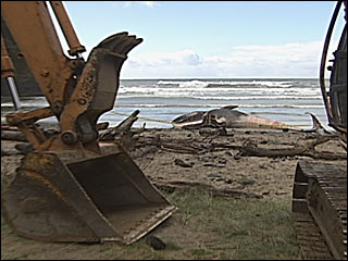 How do you get a whale carcass off a beach?