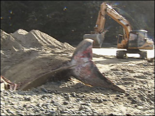 Dead whale buried in sand at Oregon Coast