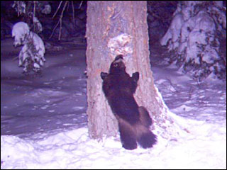 Extremely rare wolverine spotted in California mountains