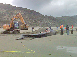 Different whale, same plan: Crews bury carcass