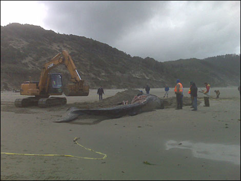 Biologists search for clues in gray whale's death