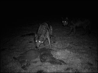 Wolf sightings on rise in Oregon Cascades