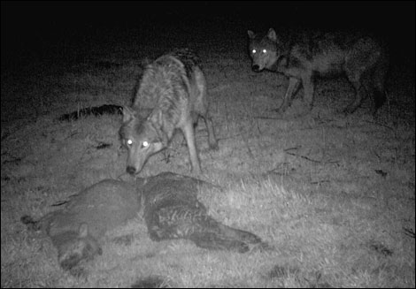 The two wolves were caught in an eerie black-and-white photo on a