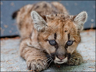 Baby cougar faced 48-hour death sentence