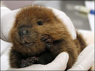 Stuffed animals help orphaned beavers learn to live