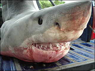 Great white shark caught off Oregon Coast