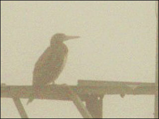 Rare Brown Booby spotted near Coos Bay