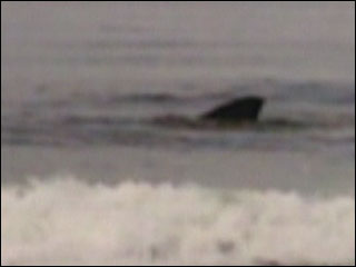 More Great White shark sightings on Oregon Coast