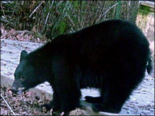 Black bear trapped, killed after breaking into house