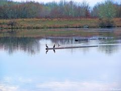 Cormorants at Fern Ridge