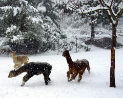 Sutherlin Rose Alpacas Frolick in the Snow