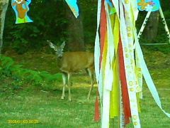 Deer visits Birthday Party In Dorena