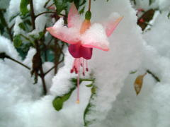 Fushia in the Snow