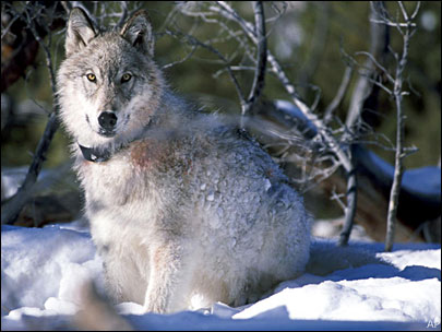 Wolves an option for deer and elk problems