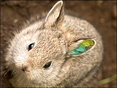 100208_pygmy_rabbit_405