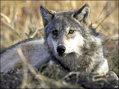 Montana sets this year's hunt quota at 186 wolves