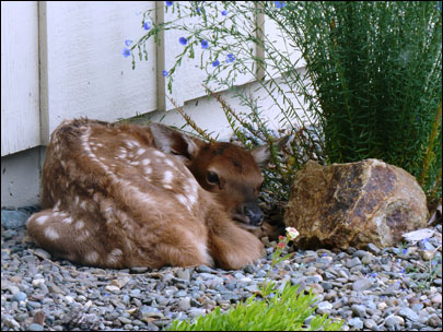 Baby elk left at Forest Service office