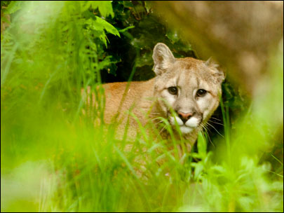 Orphaned cougar from Idaho finds home in Oregon