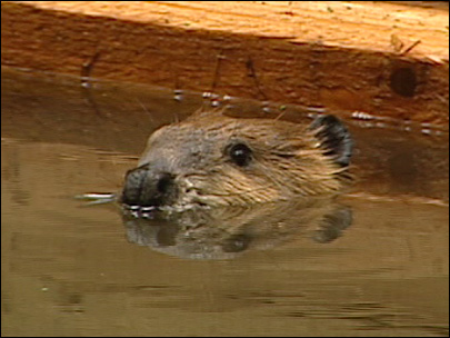 Two orphan beavers ready to venture into the wild