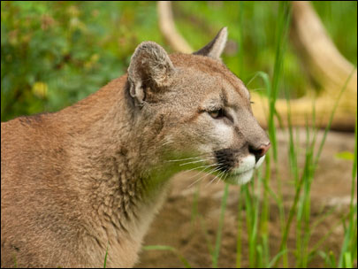 Orphan cougar from Idaho on display at Oregon Zoo
