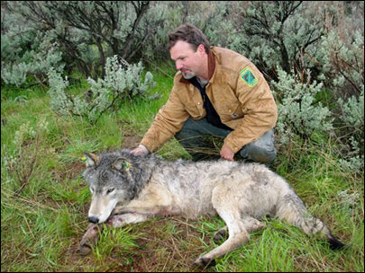 Oregon wolves get reprieve from kill order