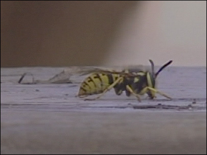 Wasps 'bizzy' stinging people after mild winter