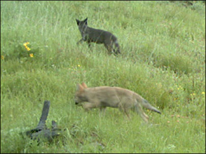 Oregon wolf pack has at least 4 new pups