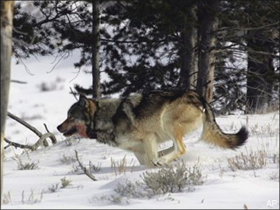 Judge stops wolf hunts in Idaho, Montana