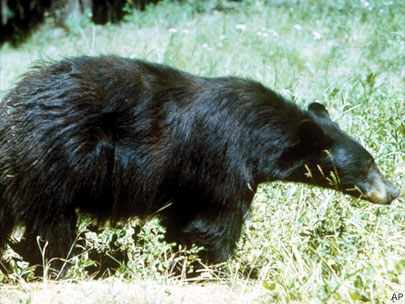 Black bears make more headlines in Oregon