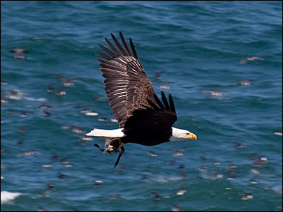 Bald eagles and pelicans munch on Oregon Coast bird
