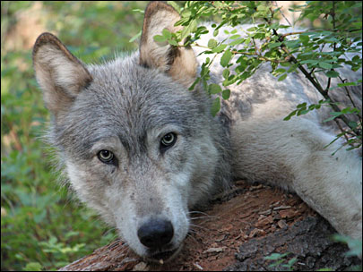 Biologists put tracking collar on Oregon wolf