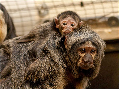 Oregon Zoo welcomes new baby monkey