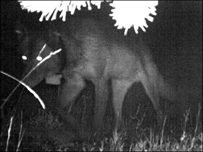Dead and buried? Nope: alpha male wolf caught on camera